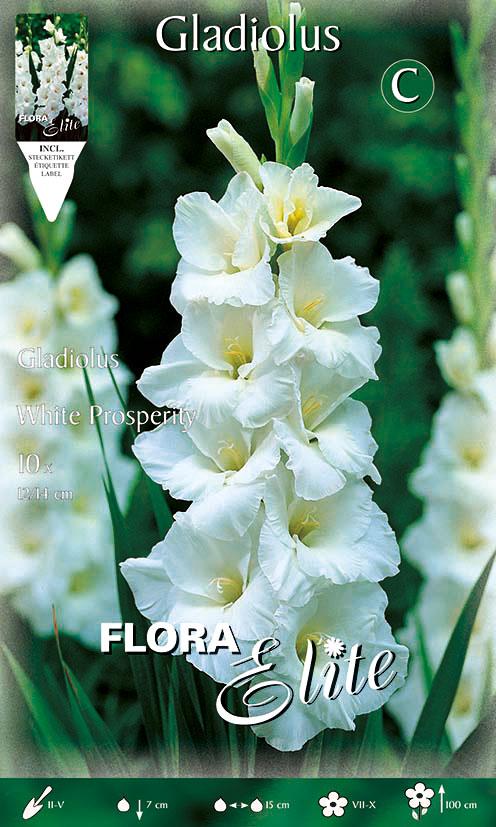 1-Elite,-Gladiolen,-White-Prosperity