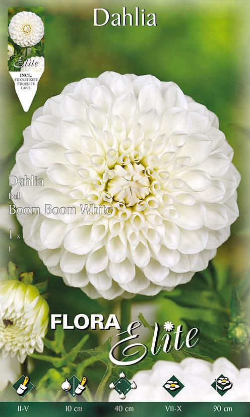 3-Flora-Elite,-Dahlien,-Ball,-Boom-Boom-White