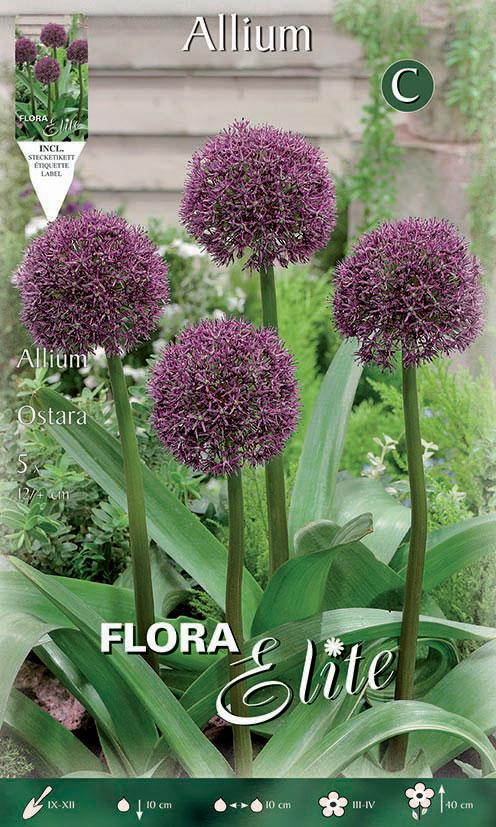 4-Elite-Allium-Ostara