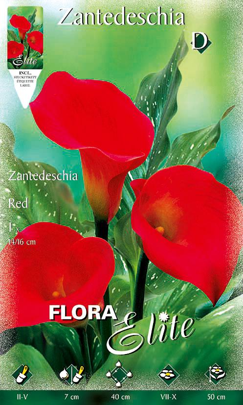 5-Flora-Elite,-Zantedeschia,-Red