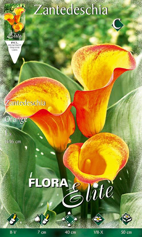 8-Flora-Elite,-Zantedeschia,-Orange