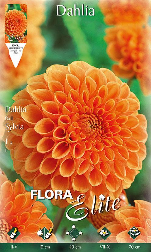 9-Flora-Elite,-Dahlien,-Ball,-Sylvia